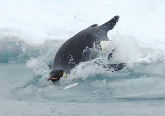 Картинка животные пингвины лед брызги пингвин