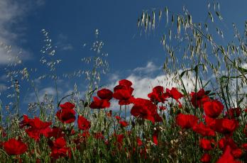 Картинка цветы маки луг поле
