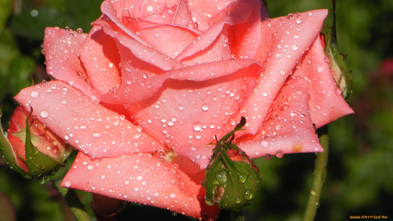 роза, блестит, бутон скачать