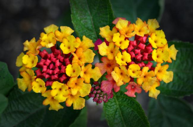 Вербена цветок желтый