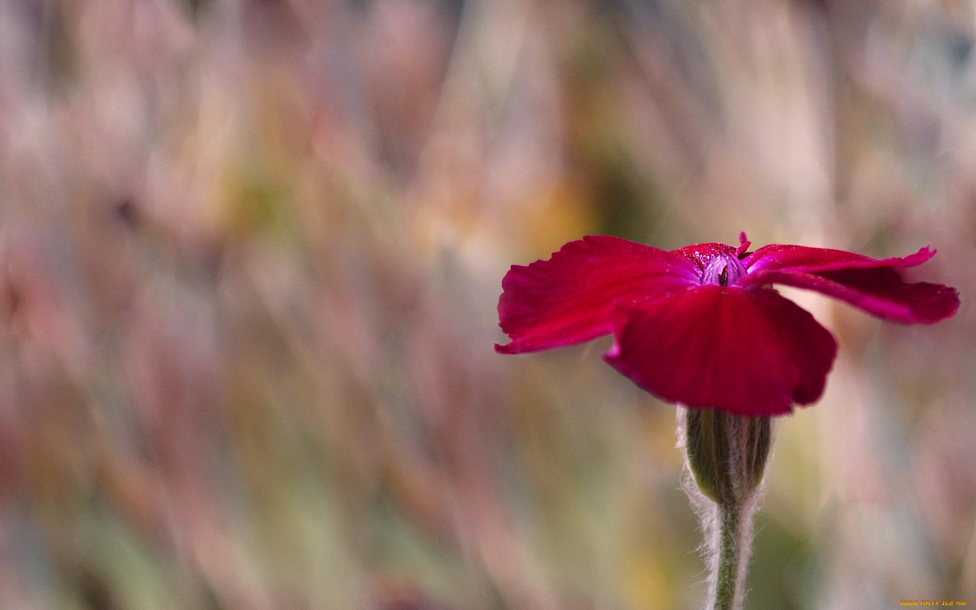 природа цветы гвоздики скачать