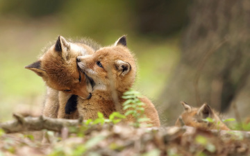 обоя животные, лисы, природа, фон