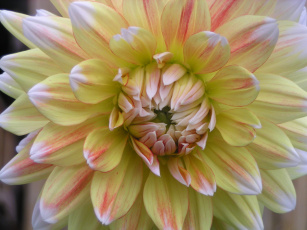 Картинка цветы георгины