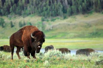 Картинка животные зубры бизоны зубр поле природа