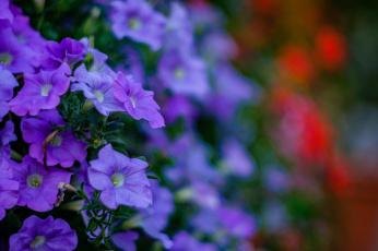 Картинка цветы петунии +калибрахоа петуния синяя цветение