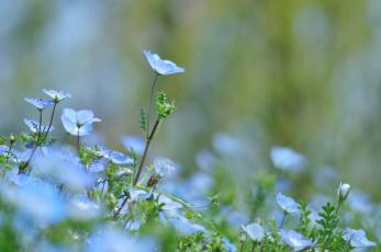 Картинка цветы немофилы +вероники немофила цветение
