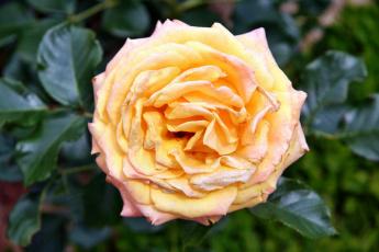 Картинка цветы розы роза лепестки бутон