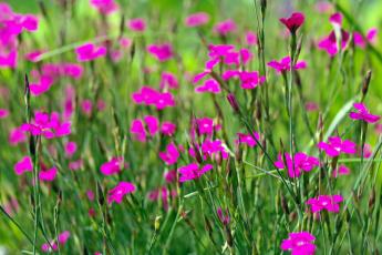 обоя цветы, гвоздики, флора, розовый, цвет, растения, природа, позитив, макро, лето, дача, красота