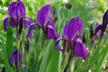 обоя цветы, ирисы, май, красота, флора, фиолетовый, цвет, растения, природа