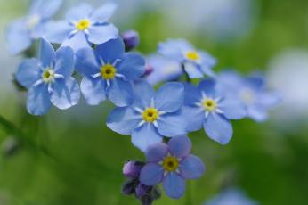 Картинка цветы незабудки природа нежность первоцветы макро флора радость дача май красота голубой цвет весна