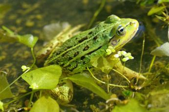 обоя животные, лягушки, лето, зелёный, цвет, пруд, природа, отдых, макро, лягушка, взгляд, вода, водоплавающие