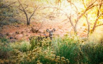 обоя животные, олени, куст, деревья