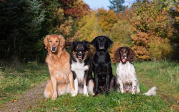 обоя животные, собаки, спаниель, ретривер, бордер-колли, лабрадор