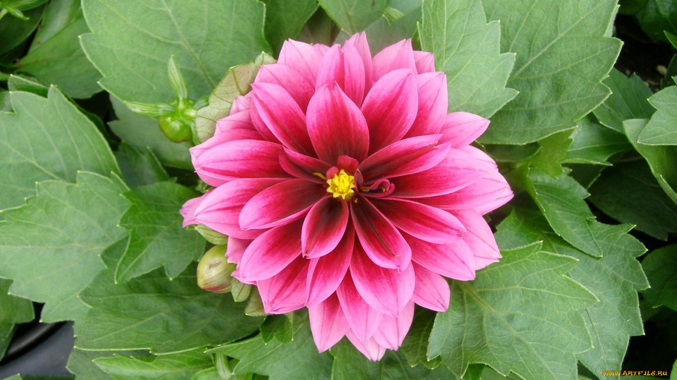 Цветок георгин фото и описание