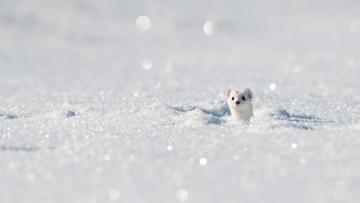 обоя животные, хорьки,  куницы,  горностаи,  ласки,  соболи, горностай, зима, снег, юра, франция