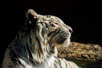Картинка животные тигры тигр белый кошка морда профиль отдых
