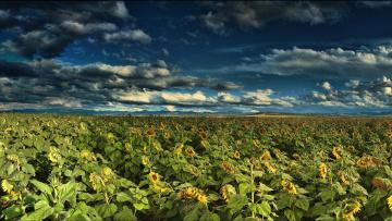 обоя цветы, подсолнухи, пейзаж, облака, небо, поле