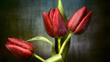 обоя цветы, тюльпаны, красный, трио, бутоны, капли