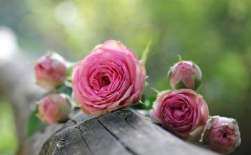 обоя цветы, розы, бутоны