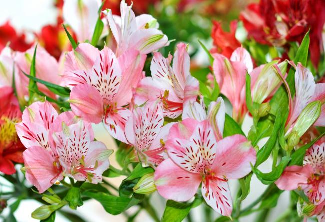 Цветы альстромерия на рабочий стол