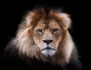 Картинка животные львы лев