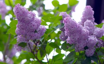 Картинка цветы сирень гроздья нежность