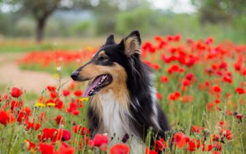 Картинка животные собаки маки друг взгляд собака