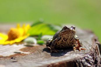 обоя животные, лягушки, фотоохота, репортаж, прогулка, природа, лето, анималистика, дача, жаба, земноводные, июль