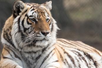 обоя животные, тигры, амурский, тигр, кошка, отдых