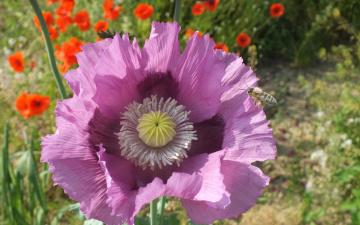 обоя цветы, маки, лепестки, насекомое, пчела, мак
