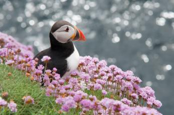 обоя животные, тупики, тупик, атлантический, птица, профиль, puffin, цветы, блики