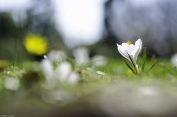 Картинка цветы крокусы весна травка цветок крокус белый цветение