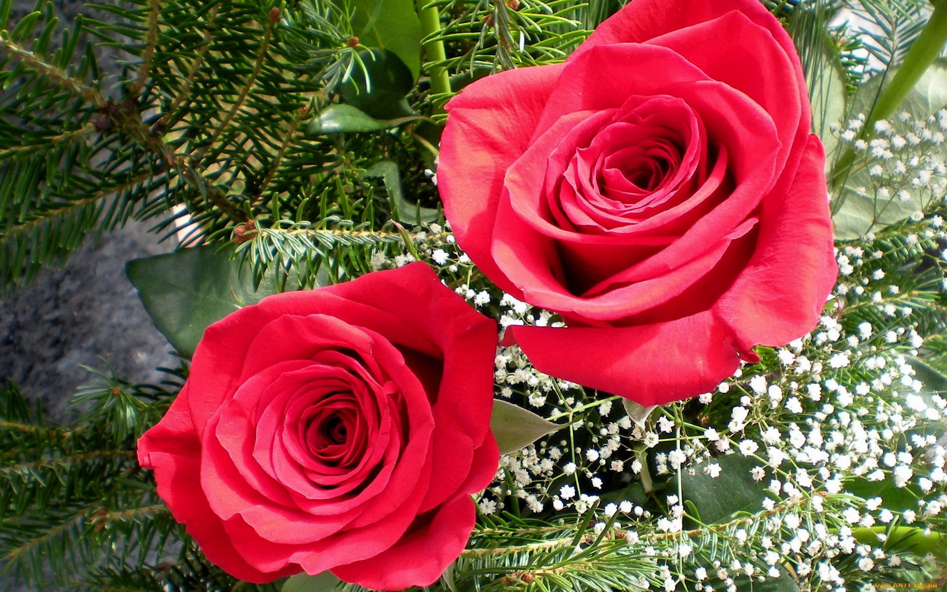 розы, гипсофила, бутоны скачать