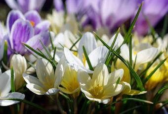 обоя цветы, крокусы, апрель, белый, цвет, весна, дача, жёлтый, красота, луковичные, макро, множество, нежность, первоцветы, природа, радость, растения, сиреневый, флора