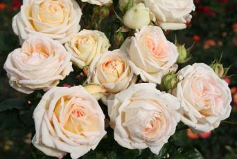 обоя цветы, розы, бутоны, красота