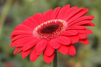 обоя гербера, цветы, герберы, цветок