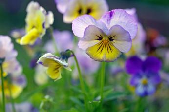 обоя цветы, анютины глазки , садовые фиалки, анютины, глазки, флора, фиалки, красота, растения, многолетники, макро, лето, июнь, двулетники, дача, виола, ассоциации, природа