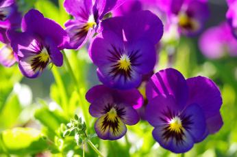 обоя цветы, анютины глазки , садовые фиалки, анютины, глазки, виола, дача, двулетники, июнь, красота, лето, макро, многолетники, природа, растения, фиалки, фиолетовый, цвет, флора