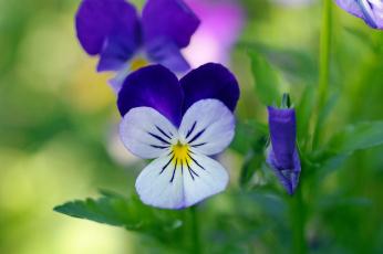 обоя цветы, анютины глазки , садовые фиалки, анютины, глазки, виола, дача, двулетники, красота, макро, многолетники, осень, природа, растения, сентябрь, фиалки, флора, цветок