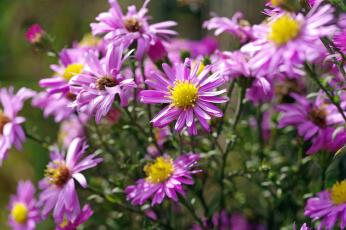 обоя цветы, астры, астра, многолетняя, дача, октябрь, осень, природа, растения, сиреневый, цвет, флора