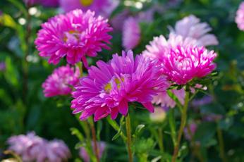 обоя цветы, астры, дача, красота, однолетники, осень, природа, растения, розовый, цвет, сентябрь, флора