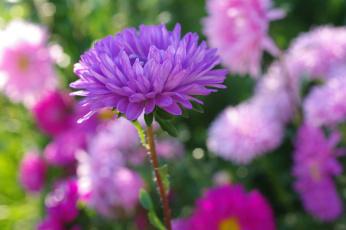 обоя цветы, астры, дача, красота, однолетники, осень, природа, растения, сентябрь, сиреневый, цвет, флора