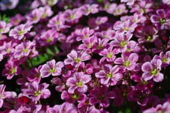 обоя цветы, дача, камнеломка, красота, май, множество, нежность, природа, растения, розовый, цвет, весна, флора, цветущий, мох