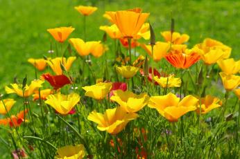 обоя цветы, эшшольция , калифорнийский мак, жёлтый, цвет, июль, эшшольция, лето, красота, флора, природа, дача