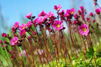обоя цветы, камнеломка, растения, природа, небо, множество, май, красота, дача, весна, цветущий, мох, флора, розовый, цвет