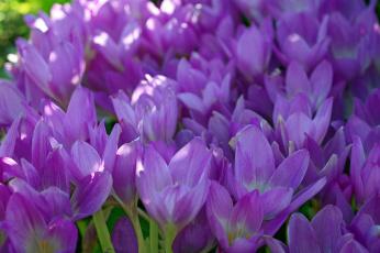обоя цветы, крокусы, безвременник, дача, красота, лепестки, луковичные, множество, осень, природа, радость, растения, сентябрь, сиреневый, цвет, флора