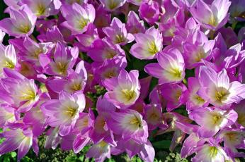 обоя цветы, крокусы, безвременник, дача, красота, луковичные, множество, осень, природа, радость, растения, сентябрь, сиреневый, цвет, флора