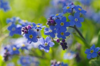 обоя цветы, незабудки, первоцветы, нежность, радость, дача, май, макро, природа, флора, голубой, цвет, весна, красота