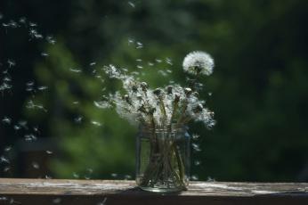 обоя цветы, одуванчики, банка, фон