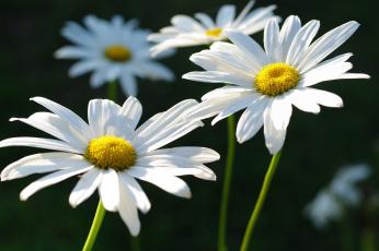 обоя цветы, ромашки, белоснежность, белый, цвет, дача, красота, лето, макро, нежность, позитив, природа, растения, флора